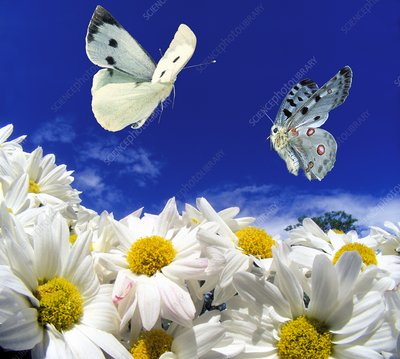 Large white and apollo butterflies