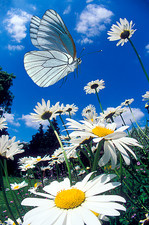 Black-veined white butterfly in flight