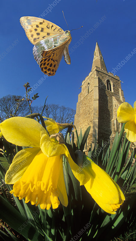 Silver-washed fritillary butterfly flying