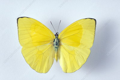 Migrant sulphur butterfly