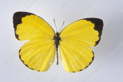 Tailed orange butterfly