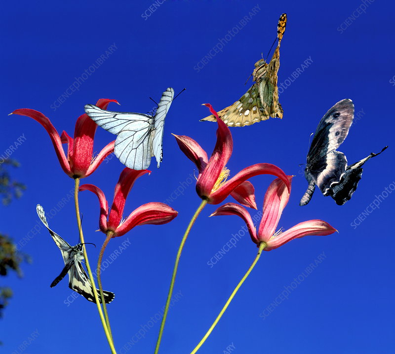 Butterflies above flowers