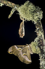 Ailanthus moth and its cocoon