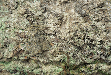 Camouflaged peppered moth