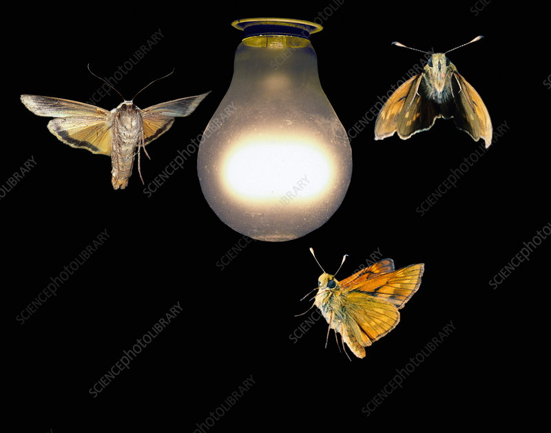Moths around a light bulb