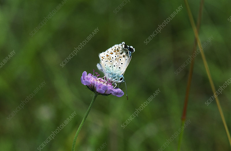 Chalkhill blue buttterfly