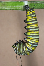 Monarch caterpillar forming chrysalis