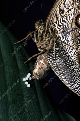 Owl Butterfly laying eggs