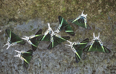 Butterflies eating minerals