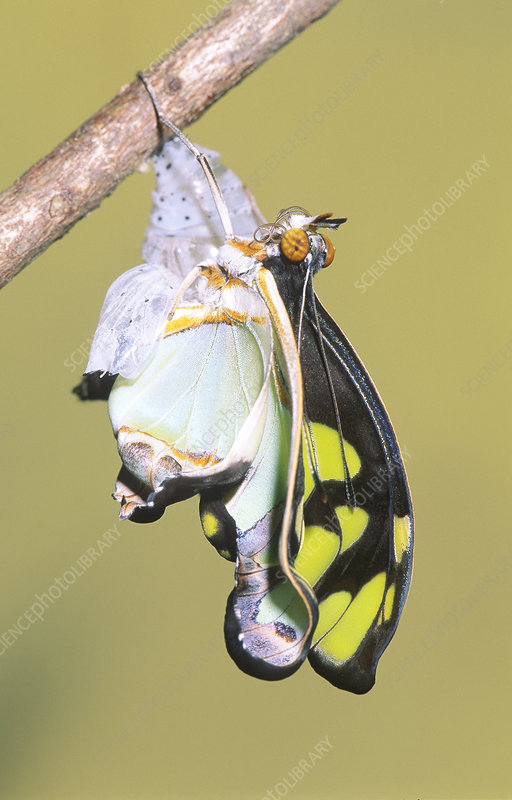 Malachite Butterfly emerging: 5 of 6