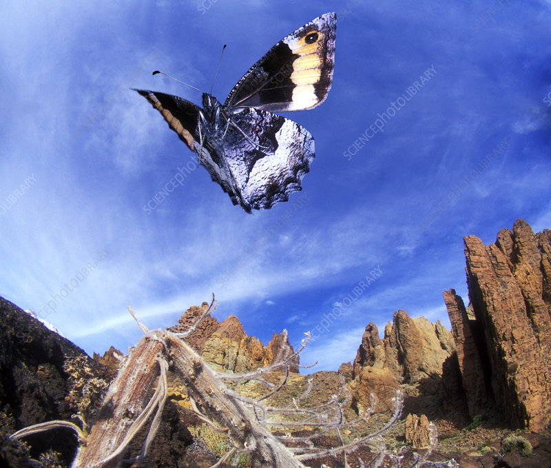 Grayling butterfly, high-speed image