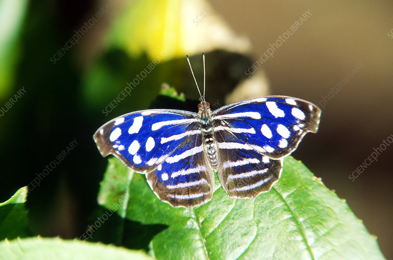 Nymphalid butterfly, Costa Rica