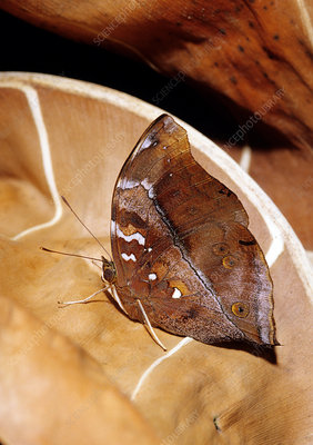 Leaf Mimic Tropical Butterfly