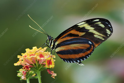 Tiger butterfly (Heliconius ismenius)