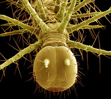 Caterpillar head, SEM