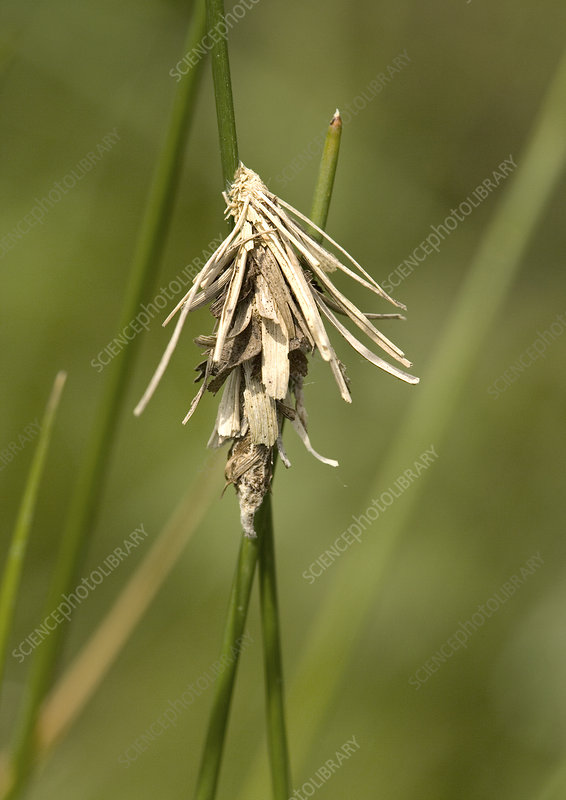 Cocoon of a psychid moth