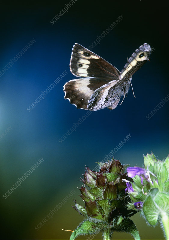 Grayling butterfly, high-speed photograph