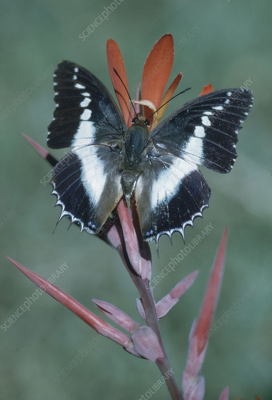 Charaxes Butterfly