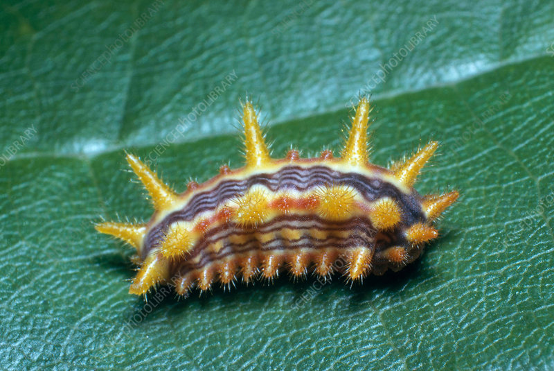 Stinging Rose Slug Caterpillar