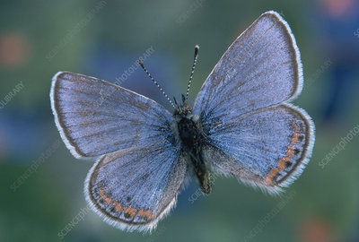 Acmon Blue Butterfly (Plebejus acmon)