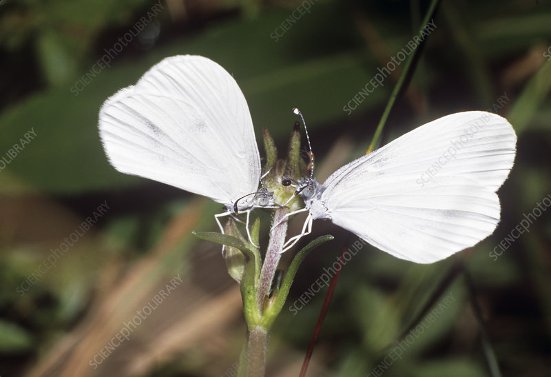 Wood white butterflies