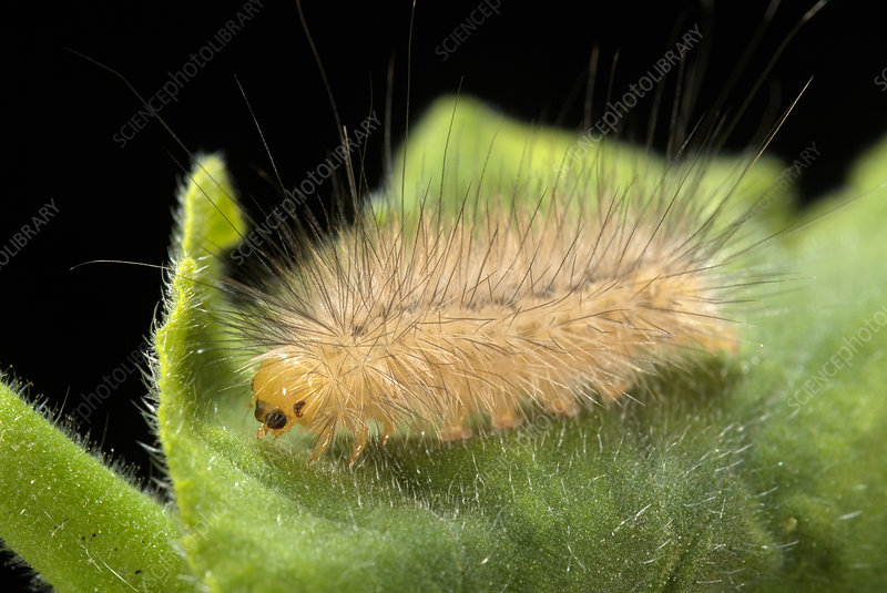 Tiger moth caterpillar
