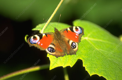 Peacock butterfly on vine leaf