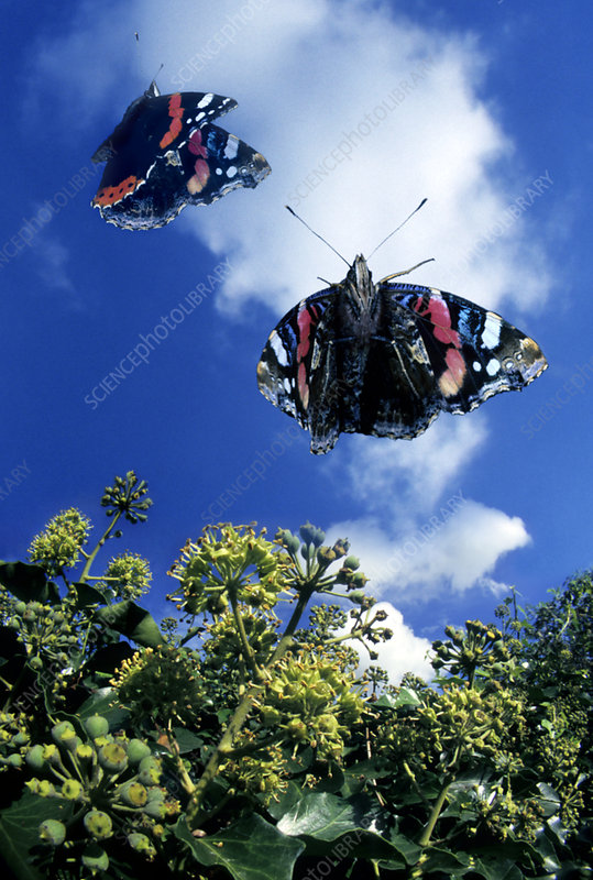 Red admiral butterflies in flight