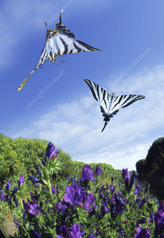 Swallowtail butterflies in flight
