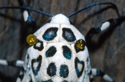 Giant Leopard Moth Secretions
