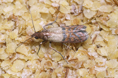Indian Meal Moth (Plodia interpunctella)