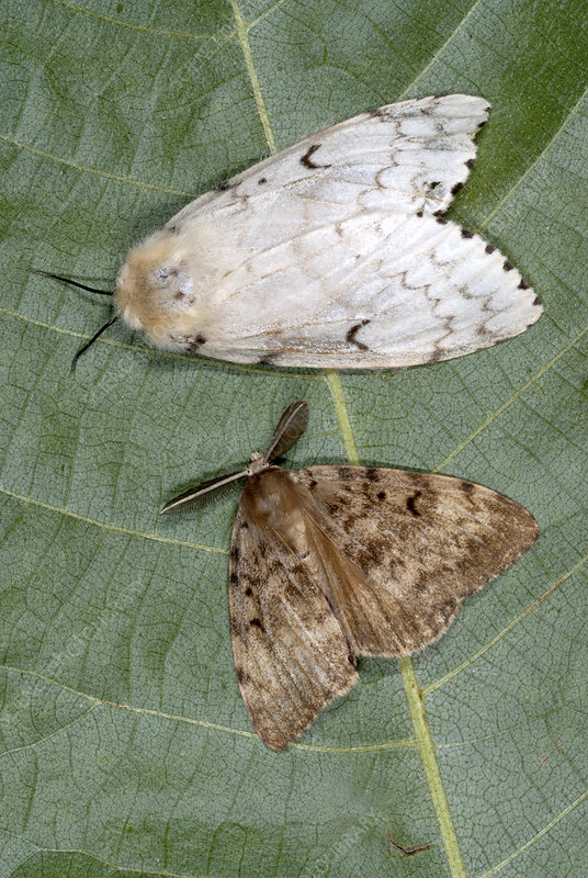 Gypsy moth female and male adults