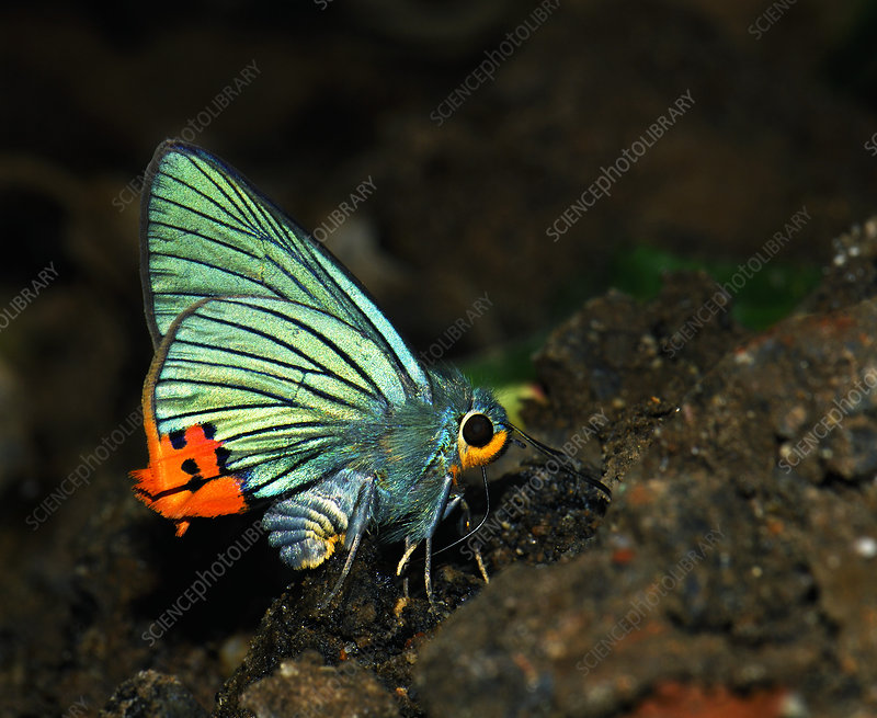 Male Indian awlking butterfly