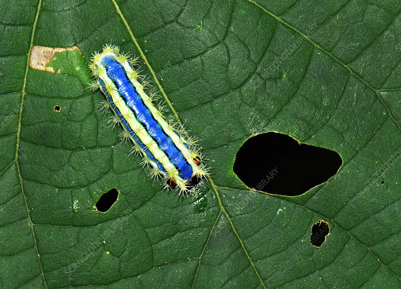 Stinging slug moth caterpillar