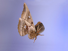 Polyphemus Moth in flight