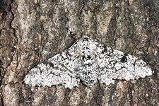 Peppered moth