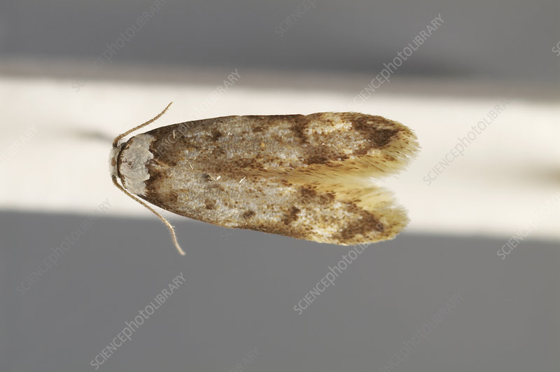 White-shouldered house moth