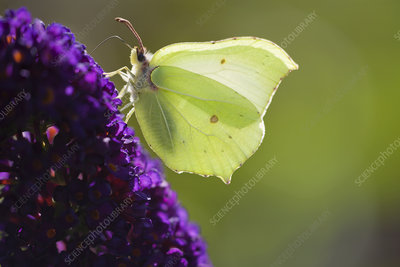 Male brimstone butterfly