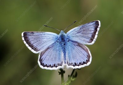 Male Chalkhill blue butterfly