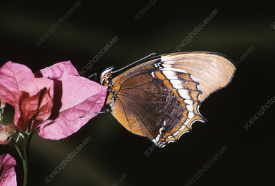 Brown Tipped Page Butterfly