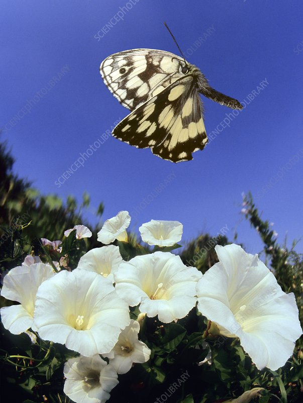 Marbled white butterfly, high-speed image