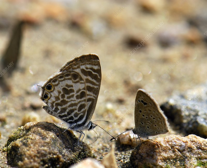 Zebra blue butterflies drinking water