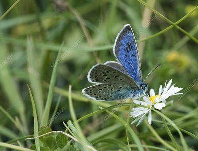 Large blue butterfly on a flower