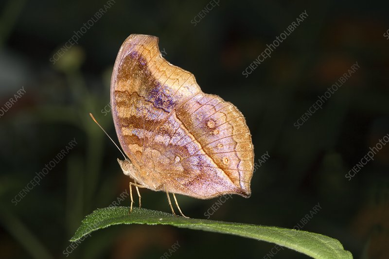 Leafwing butterfly on a leaf