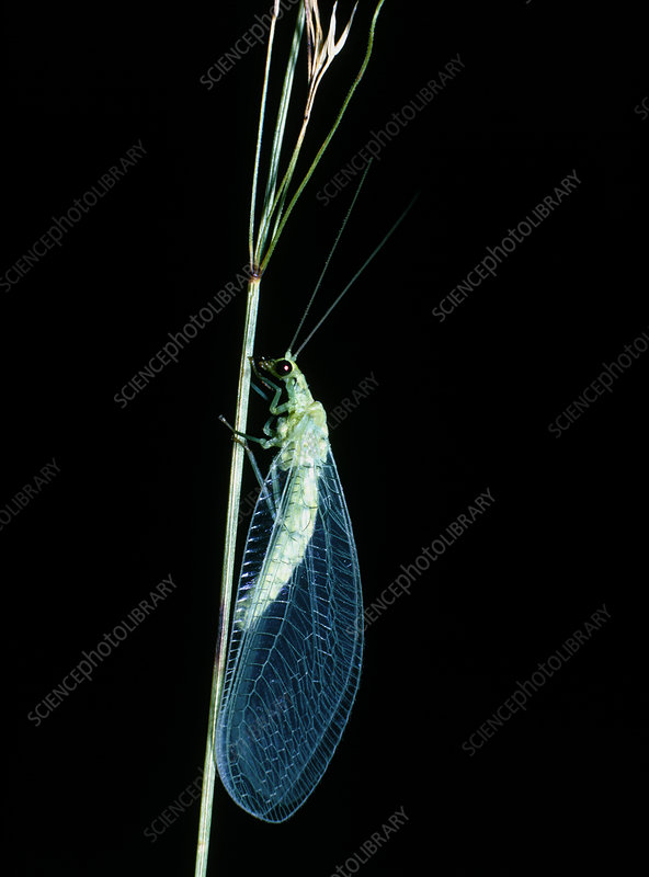 Lacewing, Chrysopa vulgaris, on plant stem