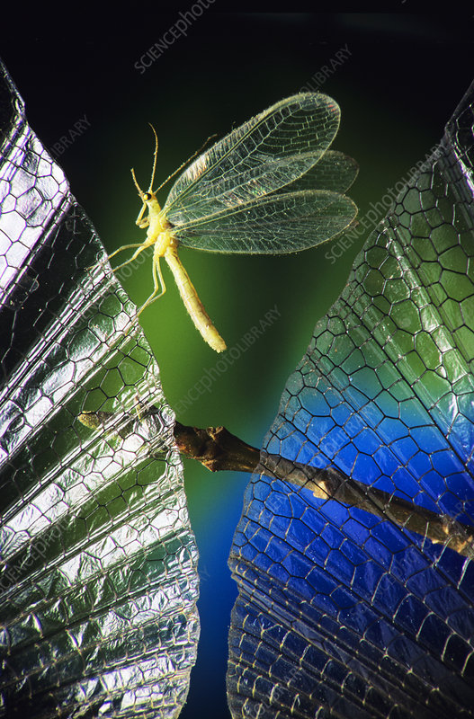 High-speed photo of a green lacewing in flight