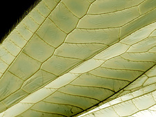 Lacewing wing, SEM