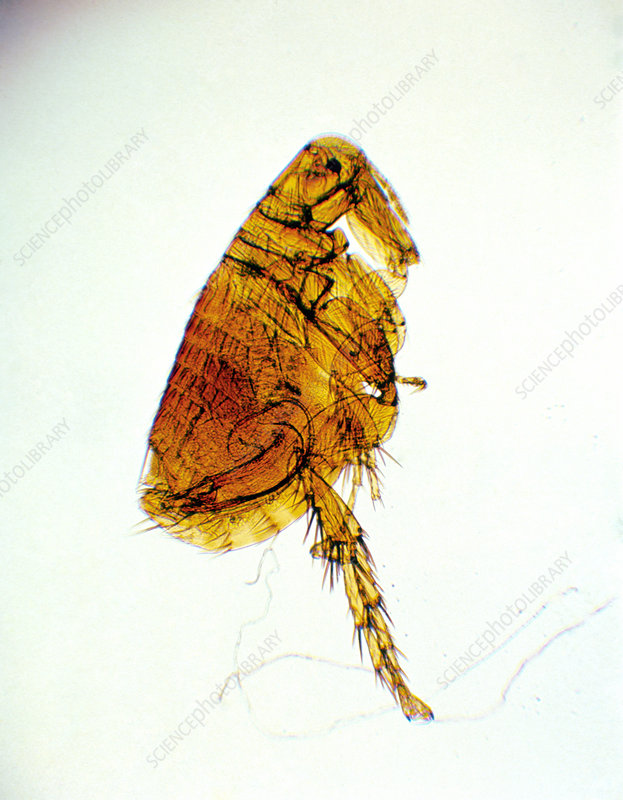 Light micrograph of the rat flea Xenopsylla cheopis