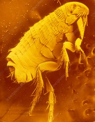 SEM of the dog flea, Ctenocephalides canis.