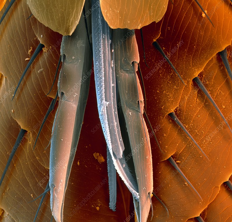 Coloured SEM of the mouthparts of a cat flea